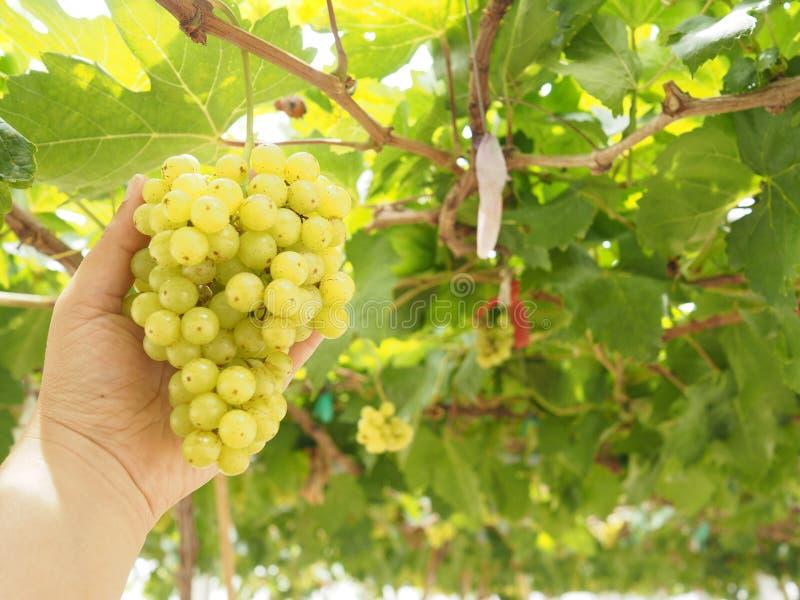 Закройте вверх по молодой руке держать свежий зеленый плод виноградины осторожно в сборе сезона в аграрной ферме стоковые фотографии rf