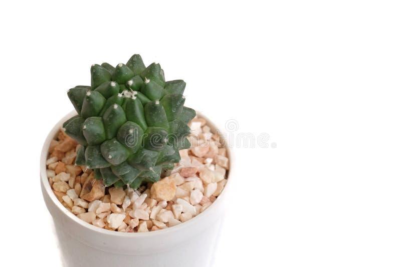 Закройте вверх по небольшому цветку кактуса в белом баке стоковая фотография rf