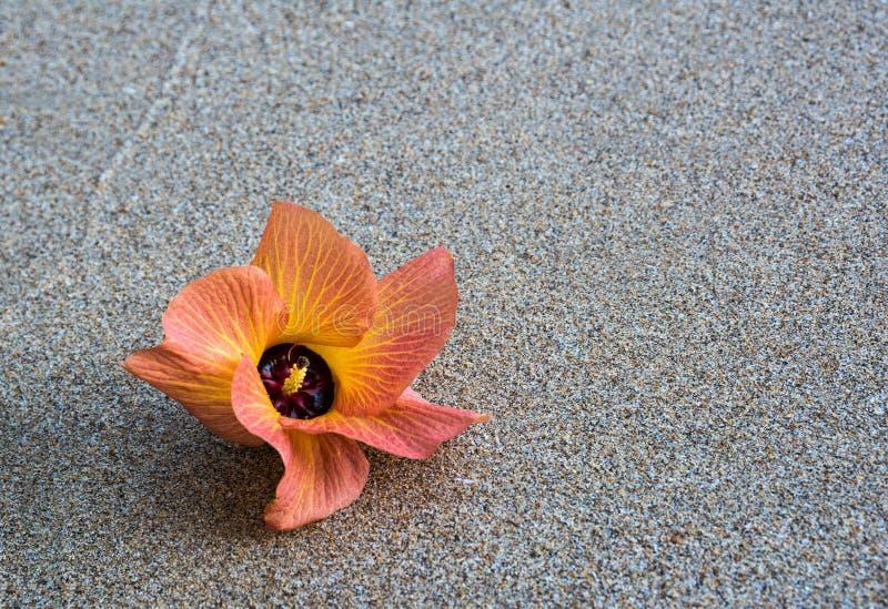 Закройте вверх по оранжевому цветку на песке пляжа стоковое изображение rf
