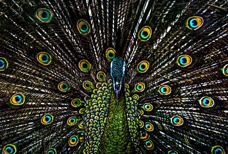 Закройте вверх по павлину на ragunan зоопарке Джакарте стоковые фото