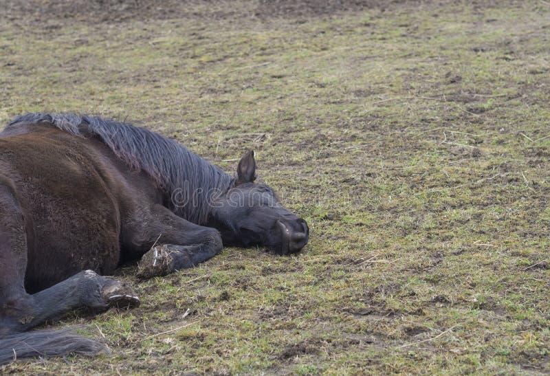 Закройте вверх по пакостной лошади коричневого цвета имбиря лежа на meado зеленой травы кружки стоковое фото rf