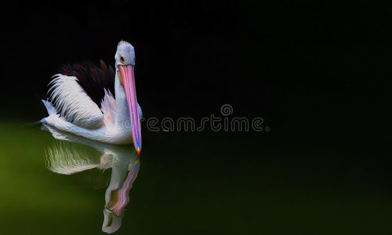 Закройте вверх по пеликану на ragunan зоопарке Джакарте стоковое фото rf