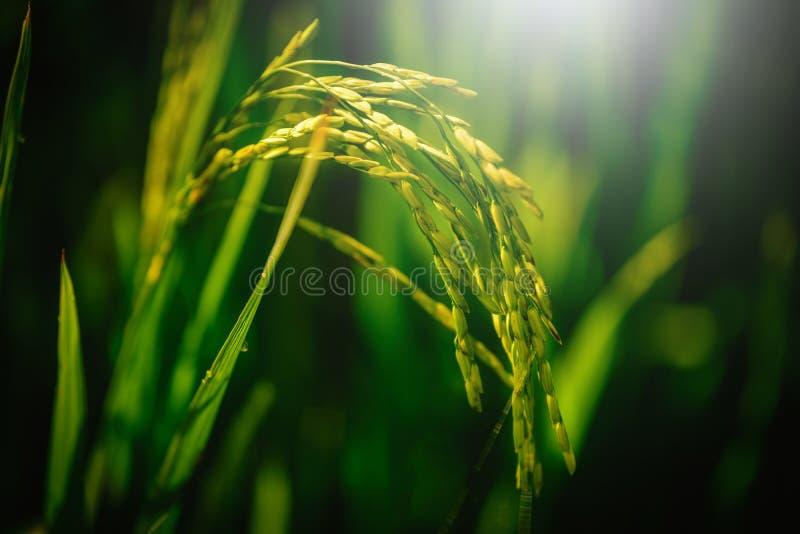 Закройте вверх по полю неочищенных рисов с лучем светов на зеленой предпосылке стоковое изображение rf