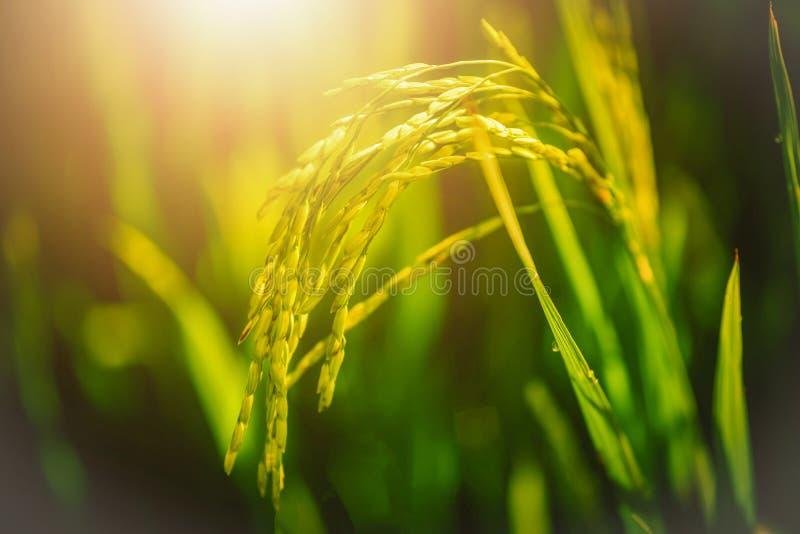 Закройте вверх по полю неочищенных рисов с лучем светов на зеленом цвете стоковое фото rf