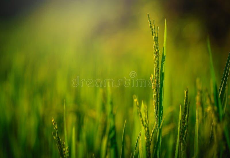 Закройте вверх по полю неочищенных рисов с лучем светов на зеленом цвете стоковые фото
