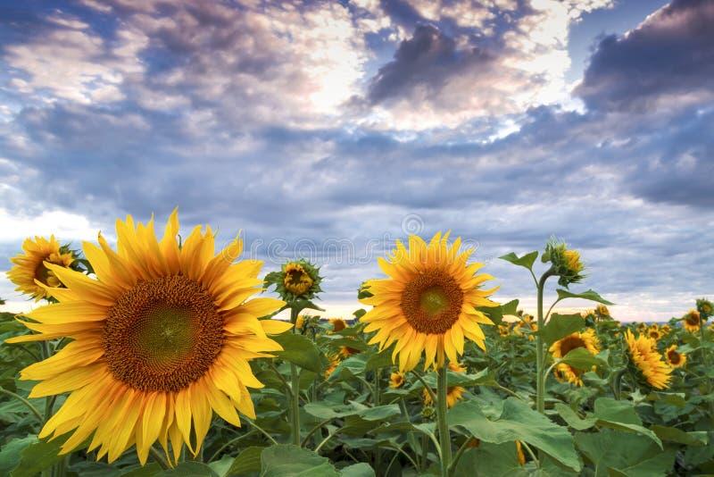 Закройте вверх по полю солнцецвета на пасмурный день стоковая фотография
