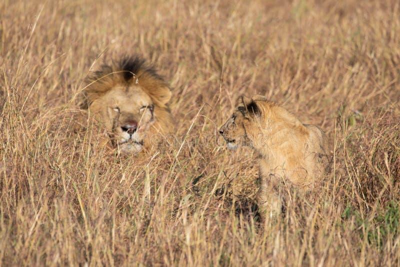 Закройте вверх по портретам взрослого мужского реки песка или льва гордости Elawana, пантеры leo, с новичком в высокорослой траве стоковое изображение