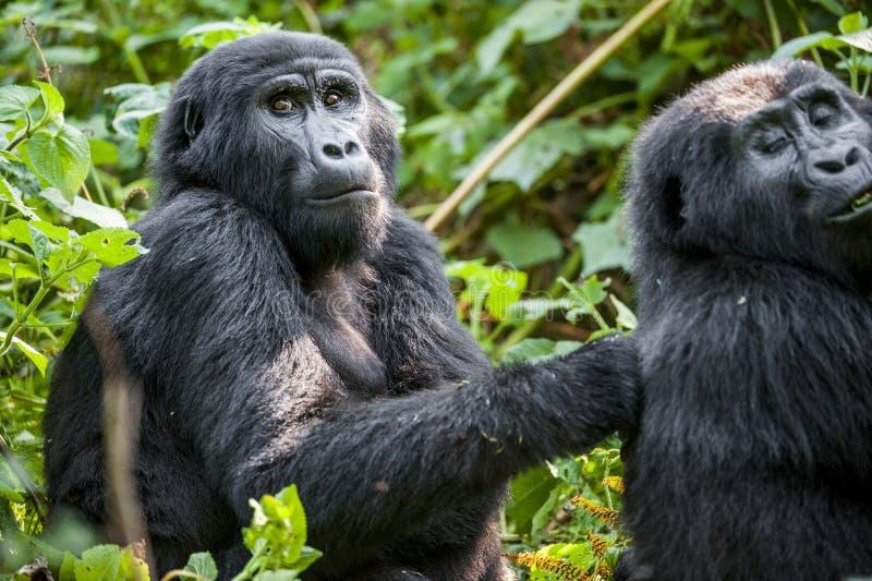 Закройте вверх по портрету гориллы горы на коротком расстоянии в естественной среде обитания Beringei beringei гориллы гориллы го стоковое изображение