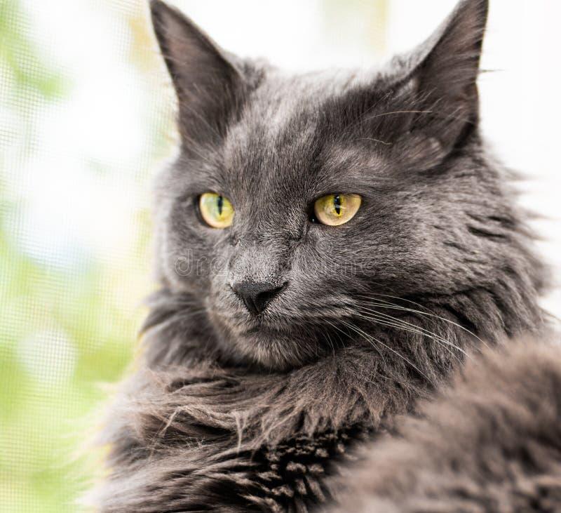 Закройте вверх по портрету красивого серого кота стоковые фото