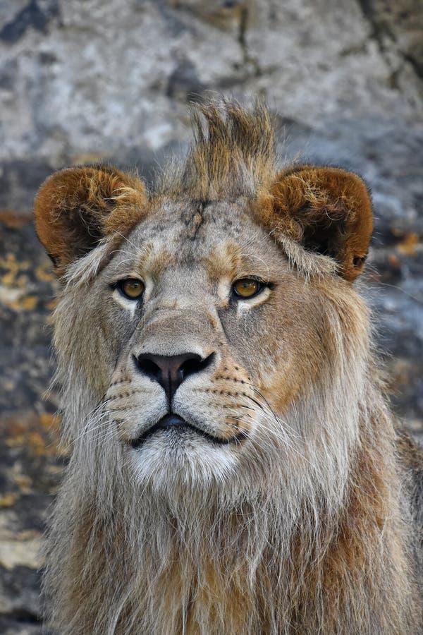 Закройте вверх по портрету молодого мужского африканского льва стоковые фото