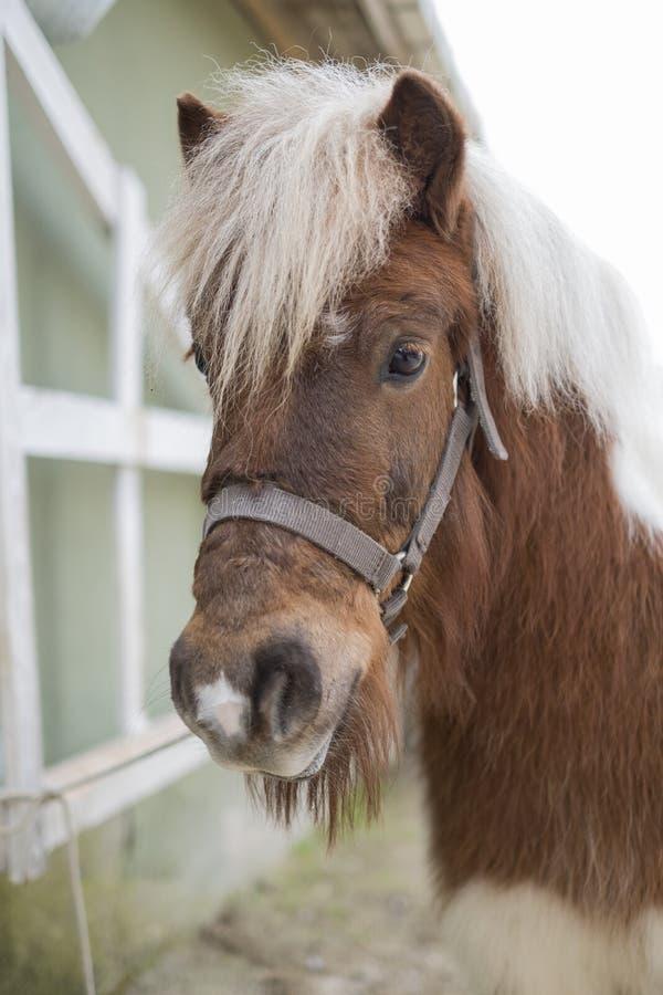 Закройте вверх по портрету пони Shetland с запачканной предпосылкой стоковая фотография