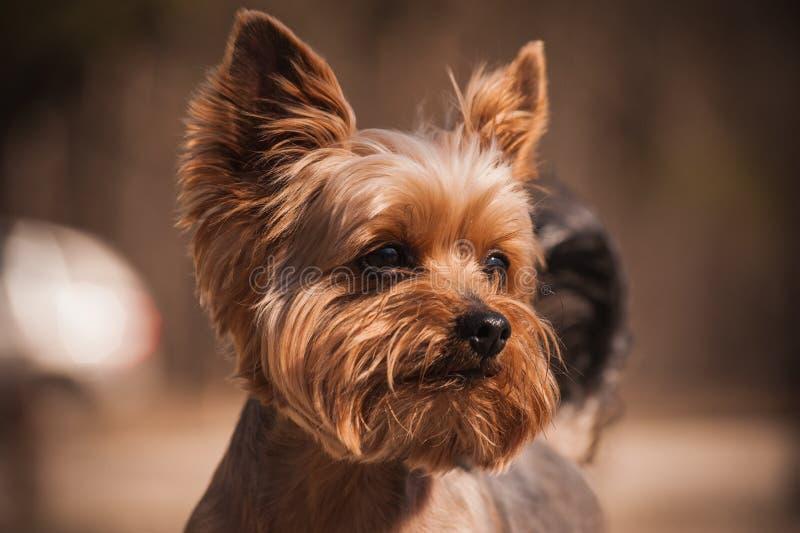 Закройте вверх по портрету собаки йоркширского терьера стоковое изображение rf