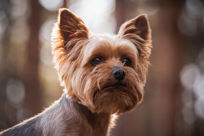 Закройте вверх по портрету собаки йоркширского терьера стоковое изображение