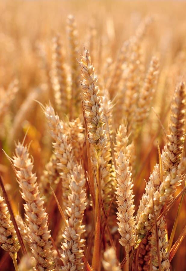 закройте вверх по пшенице стоковое изображение