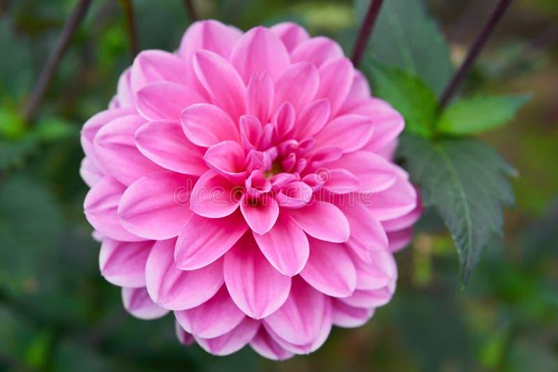 Закройте вверх по розовому георгину в саде стоковые изображения rf