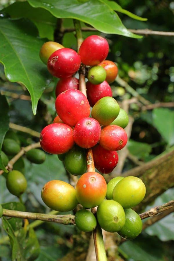 Закройте вверх по свежей органической ягоде кофе, сырцовым кофейным зернам вишен на плантации дерева кофе в Колумбии стоковое изображение rf