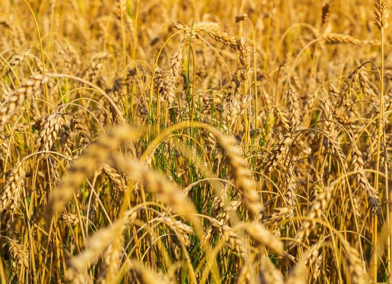 Закройте вверх по съемке зрелых пшеницы и зеленого растения на поле стоковое фото