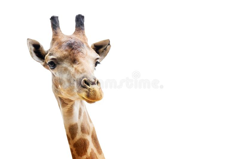 Закройте вверх по съемке изолята головы жирафа на белой предпосылке стоковое фото