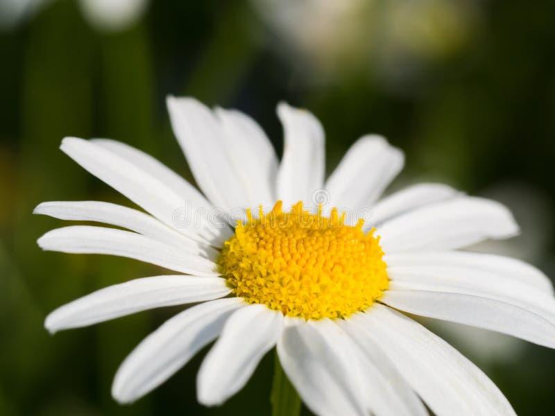 Закройте вверх по съемке цветка маргаритки на поле стоковое фото rf