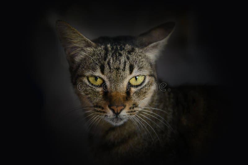 Закройте вверх по тайской стороне кота стоковое изображение rf