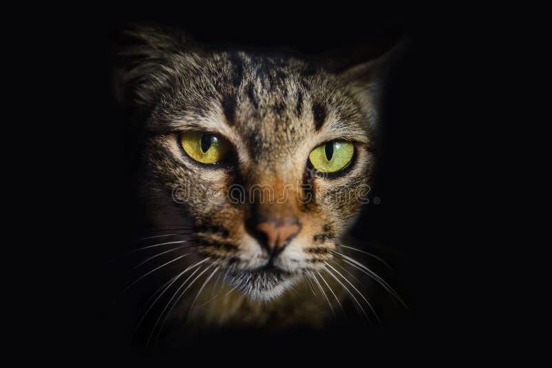 Закройте вверх по тайской стороне кота стоковые изображения rf