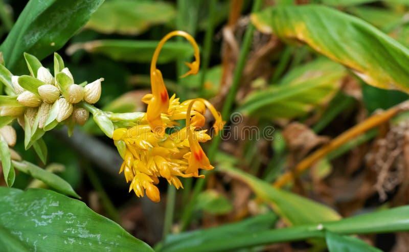 Закройте вверх по танцуя цветкам имбиря дам с бутонами изолированными на Nat стоковое фото