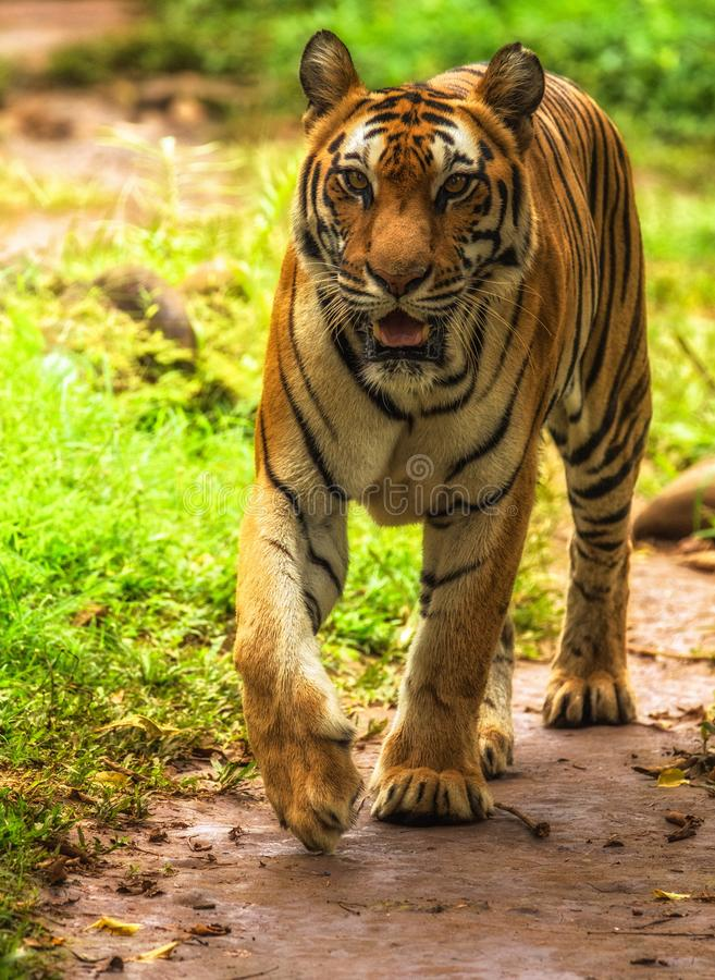 Закройте вверх по тигру Sumatran на ragunan зоопарке Джакарте стоковая фотография rf