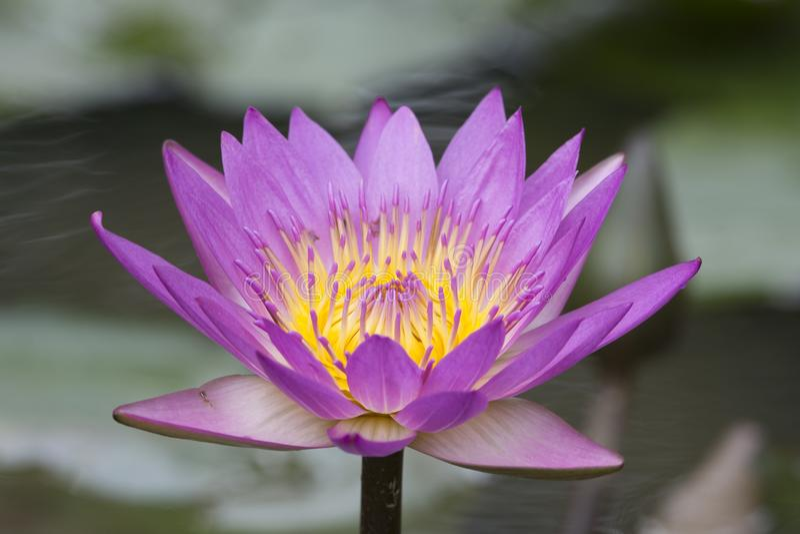 Закройте вверх по фиолетовому лотосу на саде Bogor ботаническом стоковые фотографии rf