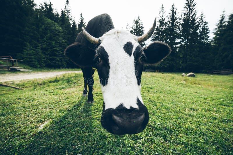 Закройте вверх по фото коровы с колоколом стоковые фото