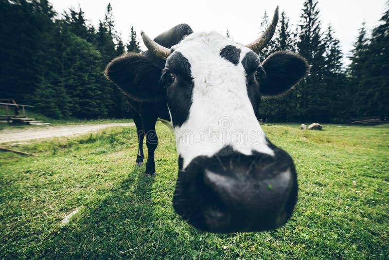 Закройте вверх по фото коровы с колоколом стоковые изображения