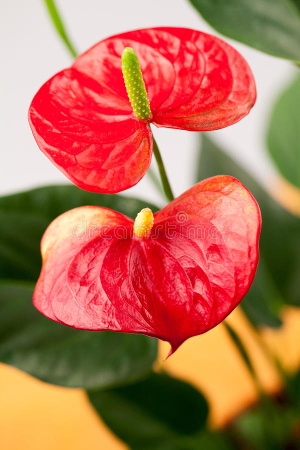 Закройте вверх по фото цветков антуриума стоковое изображение rf