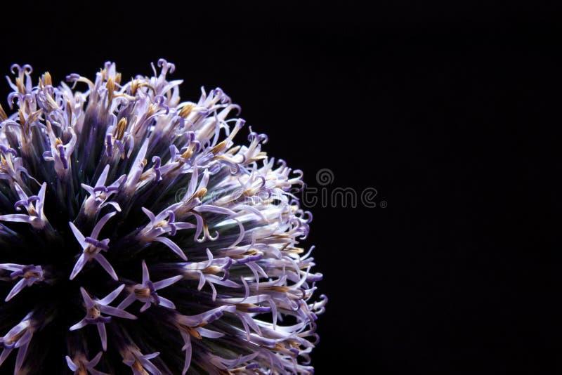 Закройте вверх по цветению чеснока на черной предпосылке стоковое изображение rf
