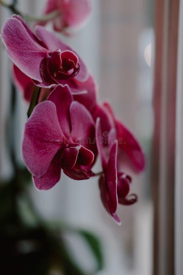 Закройте вверх по цветкам орхидеи пинка взгляда стоковое фото rf