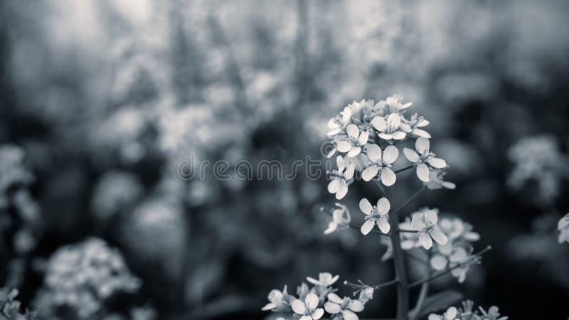Закройте вверх по цветку мустарда с черно-белым цветом стоковые фотографии rf