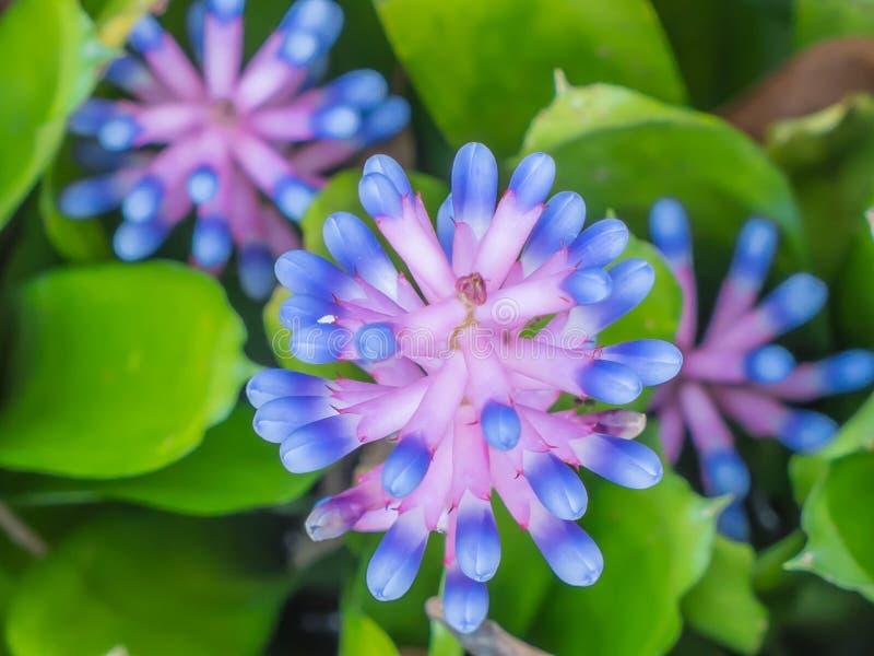 Закройте вверх по цветку Bromeliad стоковые изображения rf
