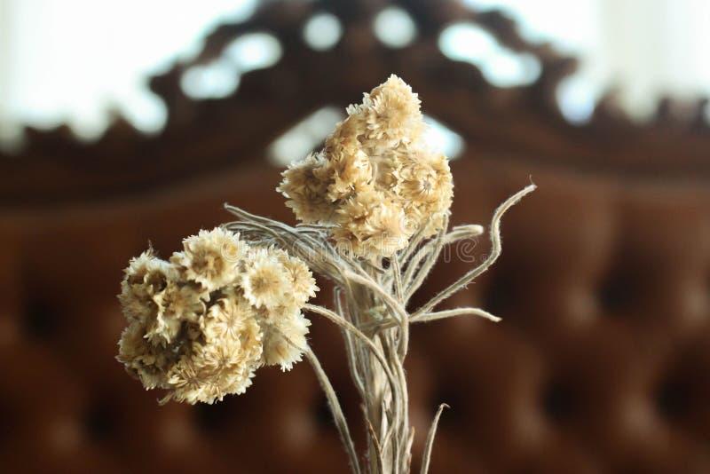 Закройте вверх по цветку Edelweis стоковые фото