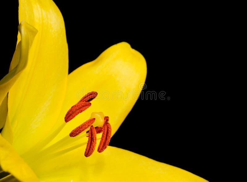 Закройте вверх по яркой желтой лилии стоковые фото