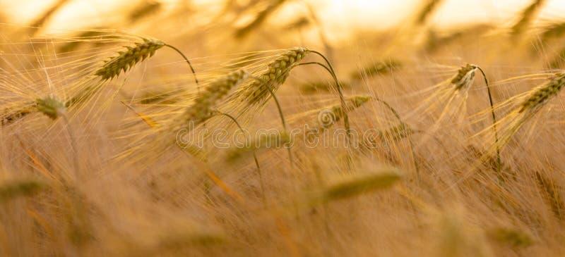 Закройте вверх по ячменю или пшеничному полю на золотых заходе солнца или восходе солнца стоковая фотография rf