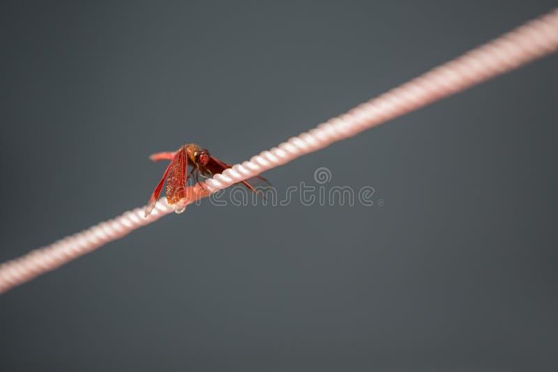Закройте вверх по dragonfly садить на насест на веревочке стоковые фотографии rf