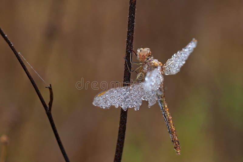 Закройте вверх по - dragonfly с падениями росы стоковые фото