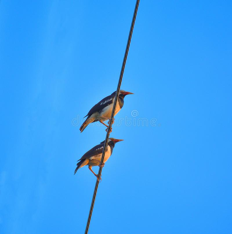 Закройте вверх 2 птиц на высоковольтном кабеле с голубым небом стоковое фото