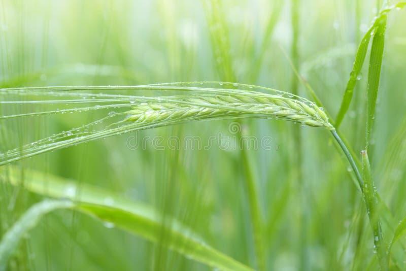 Закройте вверх пшеницы стоковое изображение