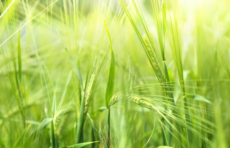 Закройте вверх пшеницы стоковые изображения rf