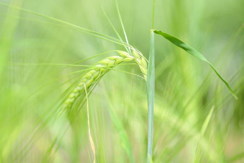 Закройте вверх пшеницы стоковое фото rf