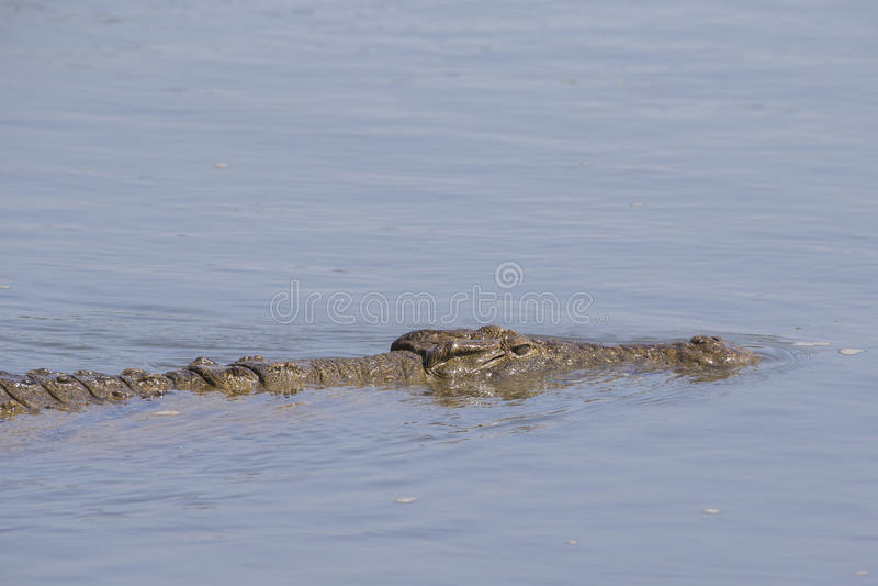 Закройте вверх плавать крокодил Нила стоковое фото rf