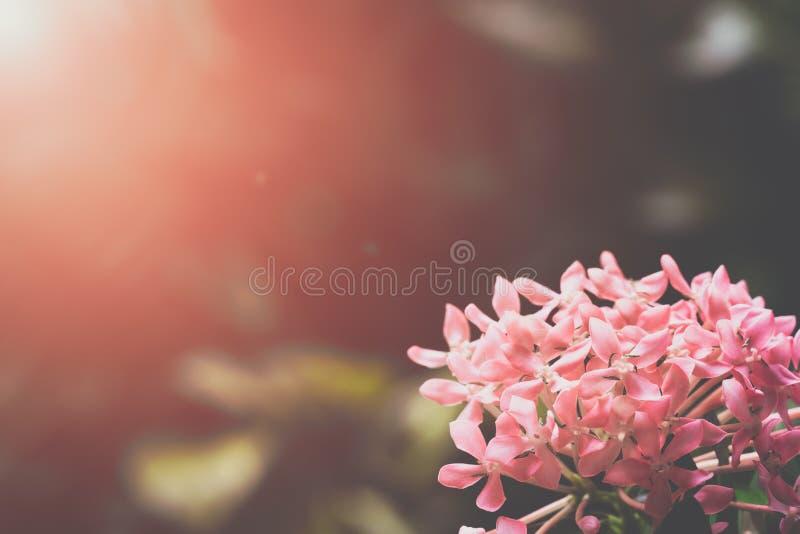 Закройте вверх розовых цветков ixora зацветая в свежем зеленом garde стоковое фото rf