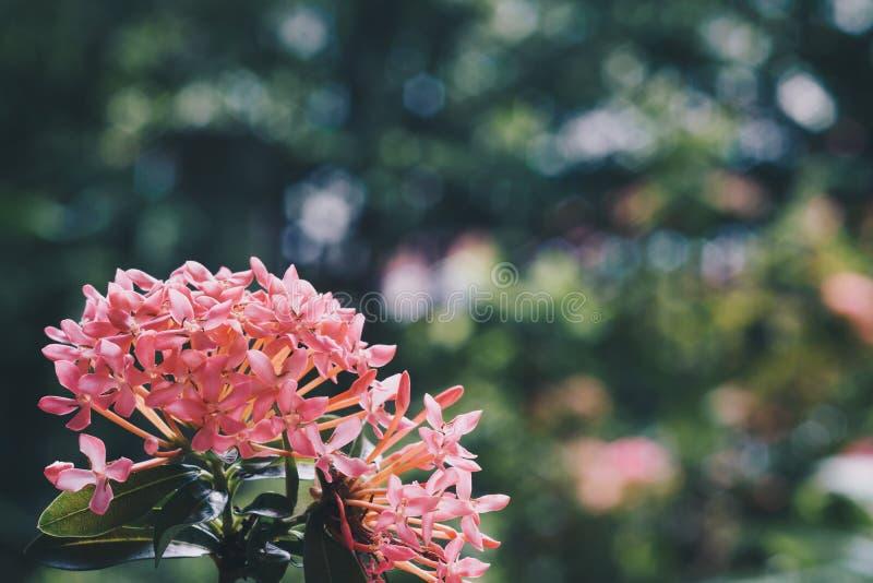 Закройте вверх розовых цветков ixora зацветая в свежем зеленом garde стоковая фотография rf