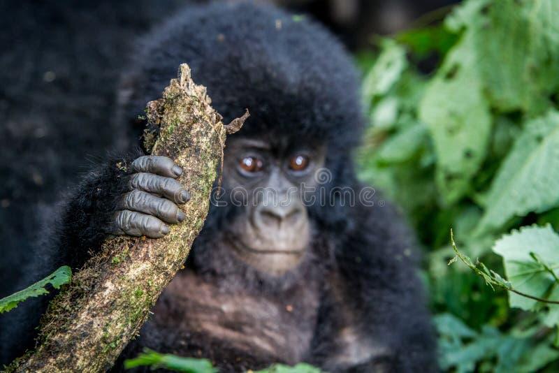 Закройте вверх руки гориллы горы младенца стоковые изображения