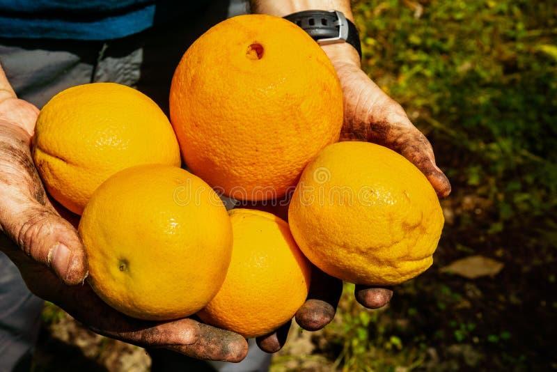 Закройте вверх рук держа свежо скомплектовал органические апельсины различных размеров; Область Сан-Хосе, южная San Francisco Bay стоковая фотография