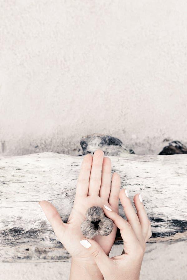 Закройте вверх рук женщины держа ossicle на деревянной предпосылке стоковые фото